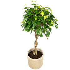 Ficus 100 cm - Benjamina Exotica in Ribbelpot