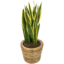 Sansevieria 90 cm - Laurentii in Rattan pot