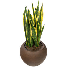 Sansevieria 90 cm - Laurentii in Rusty pot