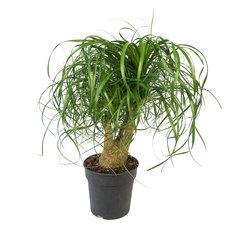 Beaucarnea vertakt 60 cm