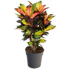 Croton 70 cm - Iceton