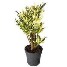 Croton 70 cm - Tamara