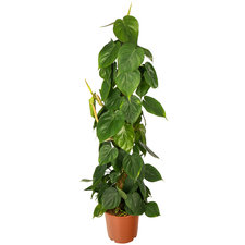 Philodendron 100 cm - Scandens mosstok
