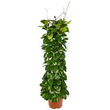 Hoya Australis zuil 80 cm