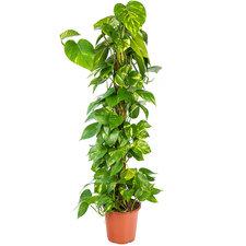 Epipremnum Scindapsus 100 cm