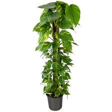 Epipremnum Scindapsus 120 cm