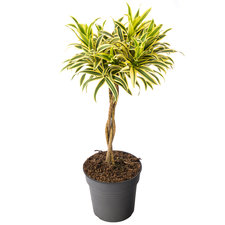 Dracaena 80 cm - Song of India