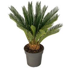Cycas Revoluta 80 cm