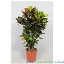 Croton 130 cm - Petra