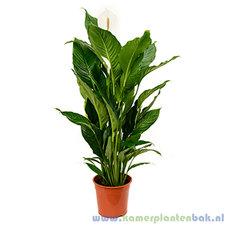Spathiphyllum 135 cm - Sweet Sebastiano