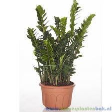 Zamioculcas 110 cm XL - Zamiifolia
