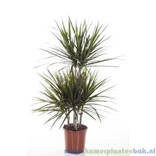 Dracaena 100 cm - Marginata (carrousel)
