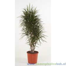 Dracaena 150 cm - Marginata (vertakt)
