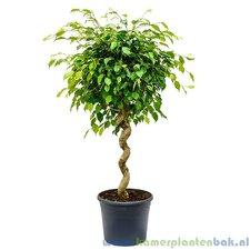 Ficus Exotica 140 cm op spiraalstam