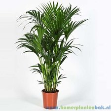 Kentia 170 cm - Howea palm (10pp)