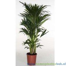Kentia 160 cm - Howea palm (12pp)