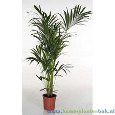Kentia 160 cm - Howea palm (6pp)