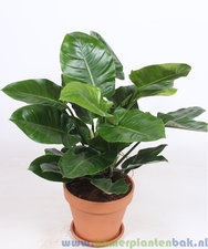 Philodendron 100 cm - Imperial Green