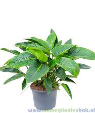 Philodendron 70 cm - Congo Green