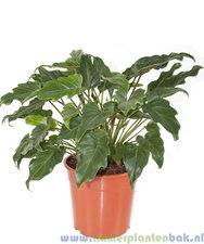 Philodendron 60 cm - Xanadu