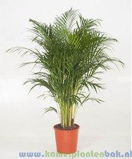 Areca palm 150 cm - Goudpalm