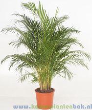 Areca palm 150 cm XL - Goudpalm