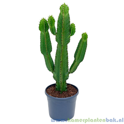 Euphorbia Ingens (cowboy) Ø 31 ↨ 110