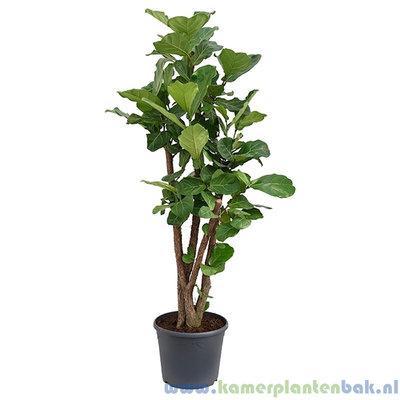 Ficus Lyrata op stam Ø35 ↨ 140