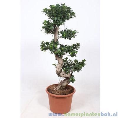 Ficus Microcarpa op stam Ø 40 ↨ 140