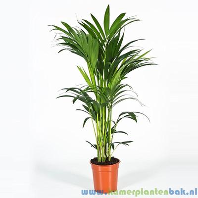 Kentia Howea palm (5pp) Ø 21 ↨ 100