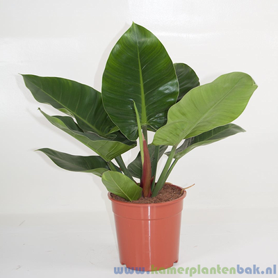 Philodendron Imperial Green Ø 24 ↨ 60
