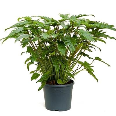 Philodendron Xanadu Ø 32 ↨ 80