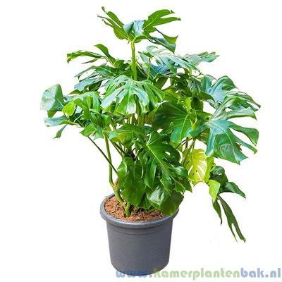 Philodendron Monstera Deliciosa Ø 45 ↨ 100