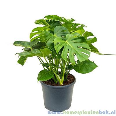 Philodendron Monstera Pertusem Ø 35 ↨ 80