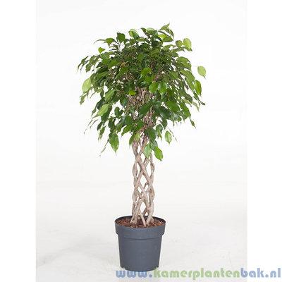 Ficus Exotica kokerstam Ø 24 ↨ 110