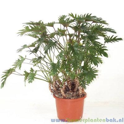 Philodendron Xanadu Ø 32 ↨ 120