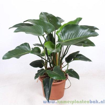 Philodendron Congo Green Ø 40 ↨ 120