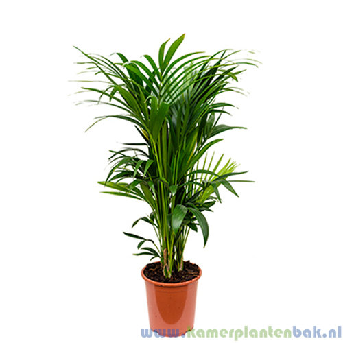 Kentia Howea palm (14pp)