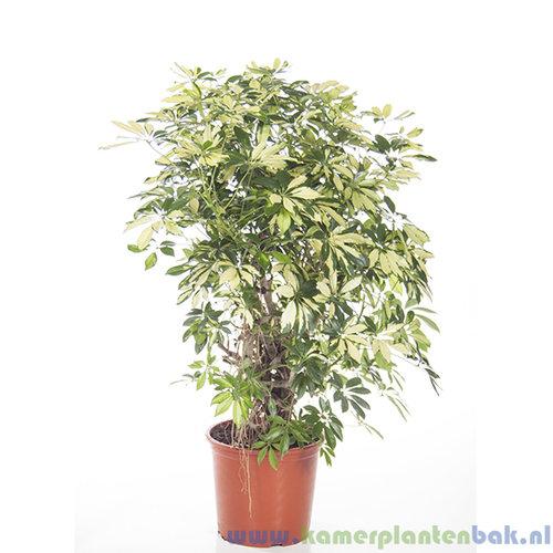 Schefflera Trinette (vertakt)