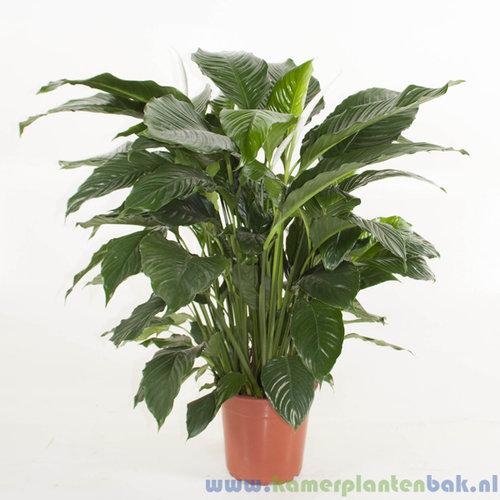 Spathiphyllum Alfetta Ø 24 ↨ 100