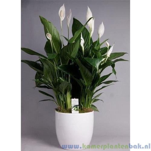 Spathiphyllum Bingo in witte pot