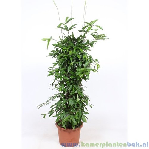 Dracaena Surculosa (vertakt)