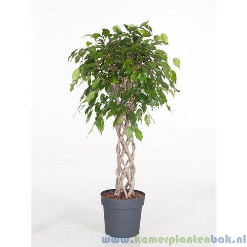 Ficus Exotica kokerstam