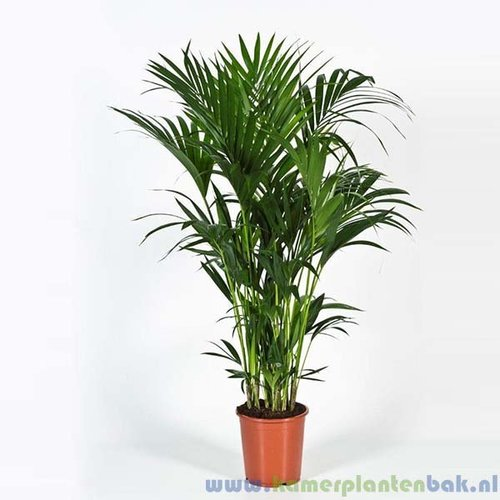 Kentia Howea palm (10pp)
