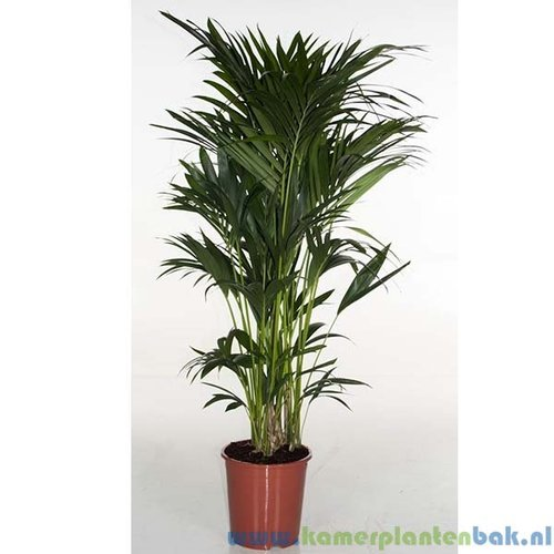 Kentia Howea palm (12pp)