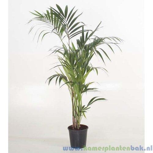 Kentia Howea palm (5pp)