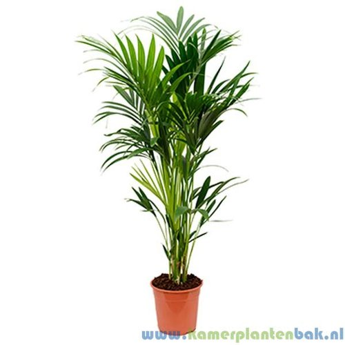 Kentia Howea palm (6pp)