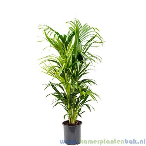 Kentia Howea palm (8pp)