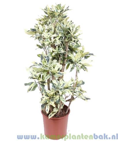 Croton (Codiaeum) Tamara