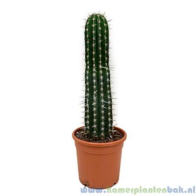 Pachycereus (Cactus) Ø 27 ↨ 80